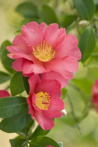 サザンカ 山茶花 冬 花 植物