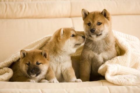柴犬 イヌ 子犬 3匹 並ぶ ソファ