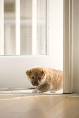 柴犬 イヌ 子犬 ドア 覗く