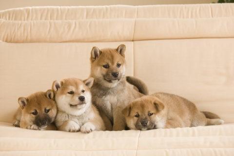 柴犬 イヌ 子犬 4匹 並ぶ ソファ