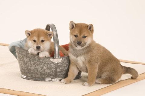 柴犬 イヌ 子犬 2匹 バケツ バス用品