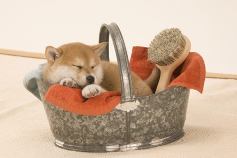 柴犬 イヌ 子犬 眠る バケツ バス用品