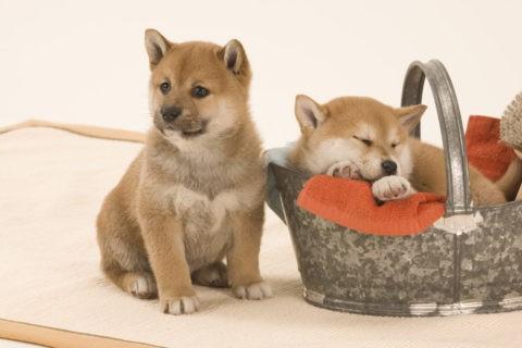 柴犬 イヌ 子犬 2匹 眠る バケツ バス用品