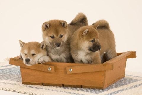 柴犬 イヌ 子犬 3匹 並ぶ バスケット
