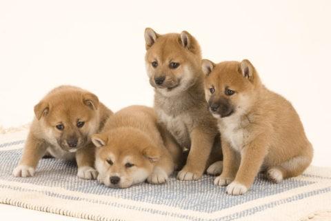 柴犬 イヌ 子犬 4匹 並ぶ