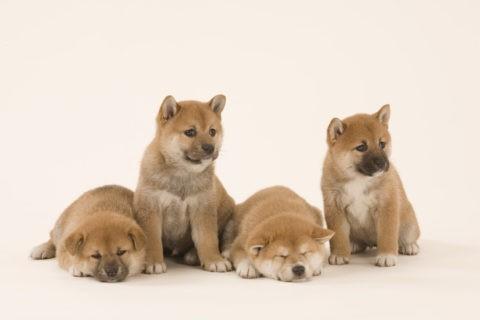 柴犬 イヌ 子犬 4匹 並ぶ 白バック