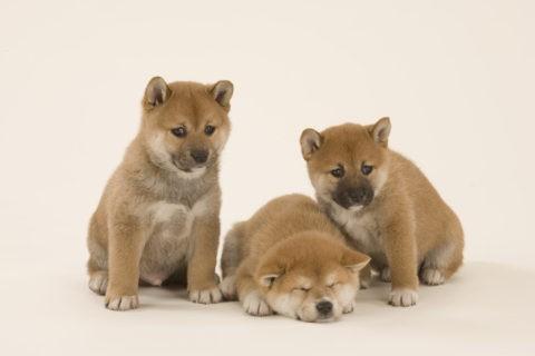 柴犬 イヌ 子犬 3匹 並ぶ 白バック