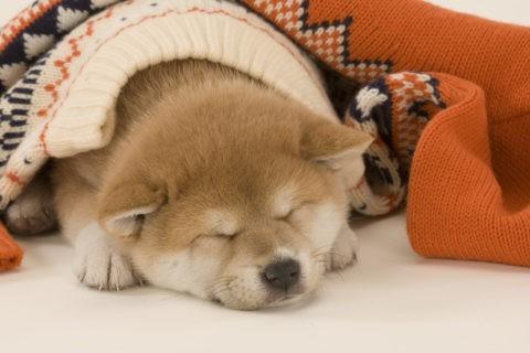 柴犬 イヌ 子犬 眠る セーター