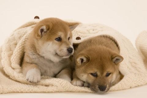柴犬 イヌ 子犬 くるまる 2匹 並ぶ セーター
