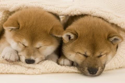 柴犬 イヌ 子犬 眠る くるまる 2匹 並ぶ
