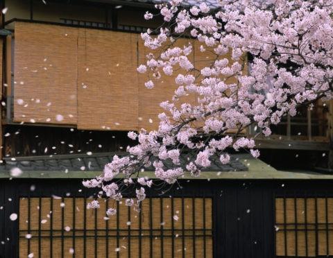 桜 散る 春 すだれ 祇園白川 合成