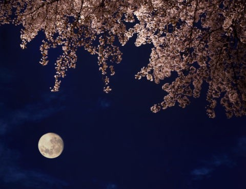 夜桜 桜 春 月 夜景 合成