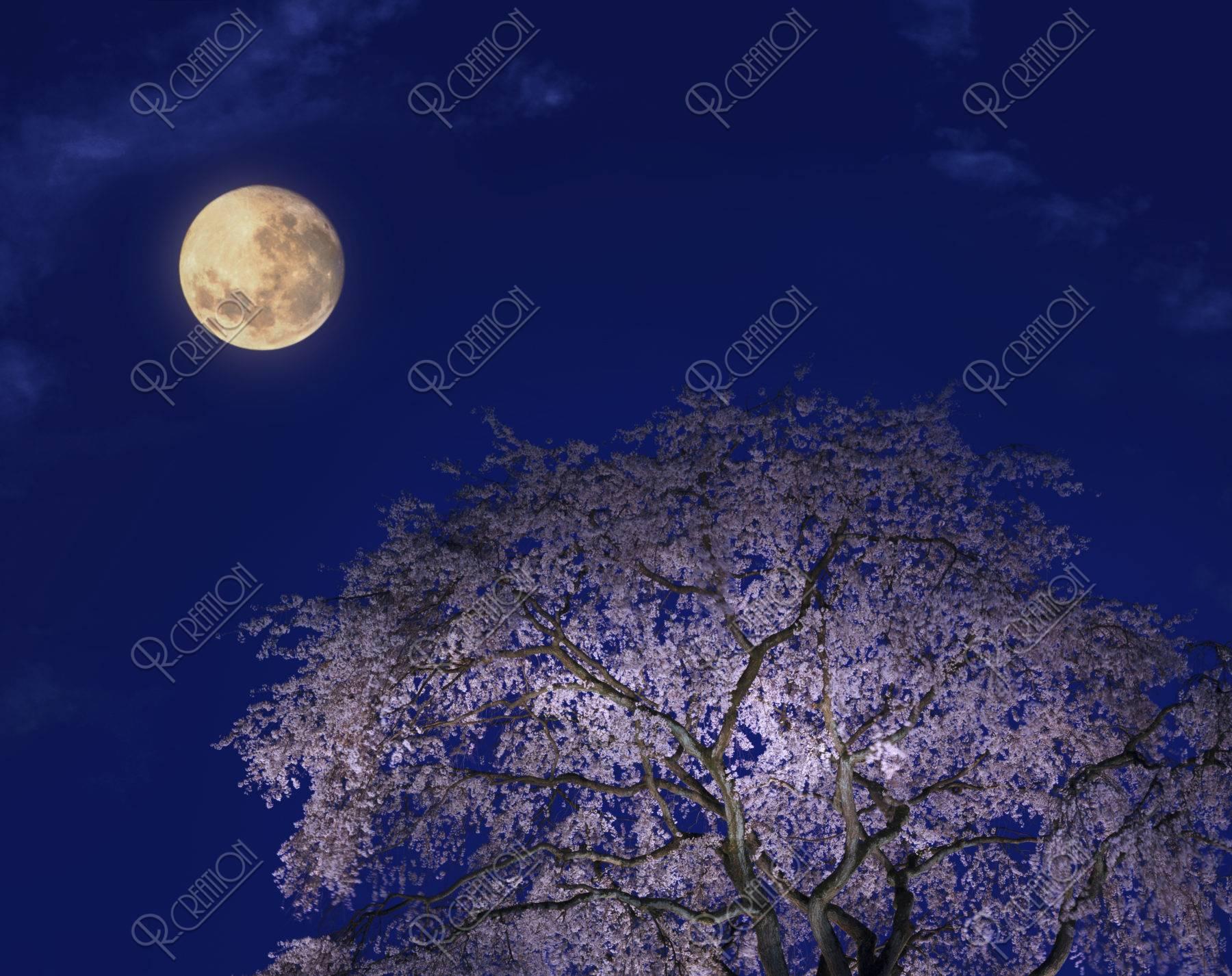 夜桜 円山公園 桜 春 月 合成