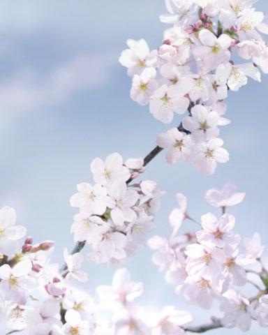 桜 満開 アップ 春 合成