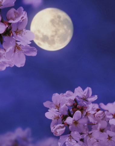 桜 夜桜 月 夜景 満開 アップ 春 合成