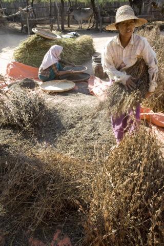 ゴマ 種 収穫 ミンナントゥ村 農業