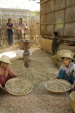 ピーナッツ 種 収穫 ミンナントゥ村 農業
