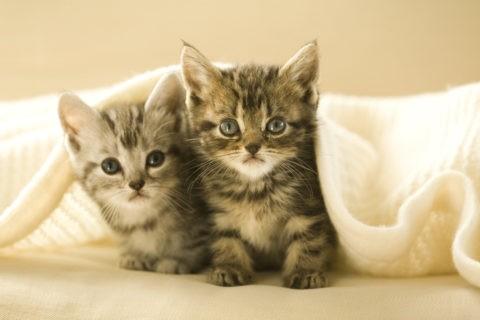 ネコ 仔猫 アメリカンショートヘア 2匹 毛布