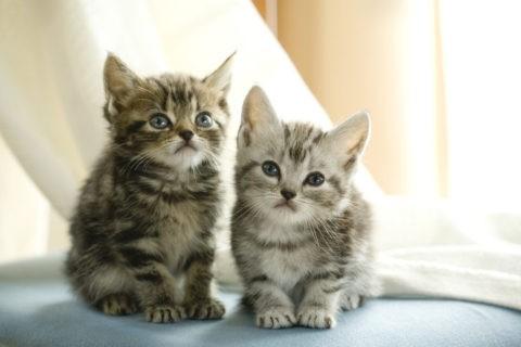 ネコ 仔猫 アメリカンショートヘア 2匹 椅子
