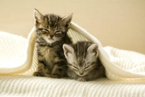 ネコ 仔猫 アメリカンショートヘア 2匹 眠る