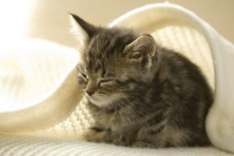 ネコ 仔猫 アメリカンショートヘア 1匹 眠る