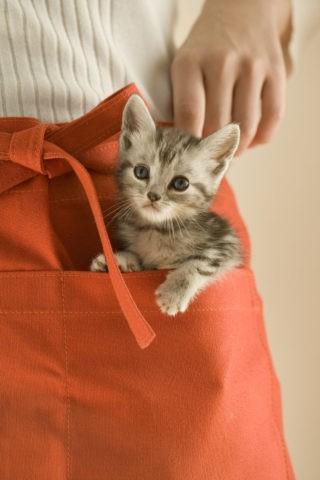 ネコ 仔猫 アメリカンショートヘア 1匹 エプロン