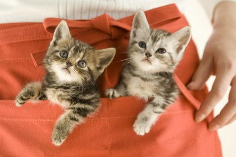 ネコ 仔猫 アメリカンショートヘア 2匹 エプロン