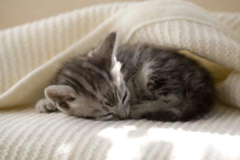ネコ 仔猫 アメリカンショートヘア 眠る 毛布