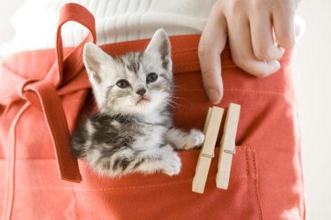 ネコ 仔猫 アメリカンショートヘア エプロン