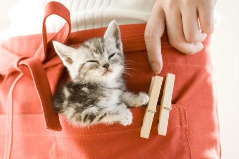 ネコ 仔猫 アメリカンショートヘア エプロン 眠る
