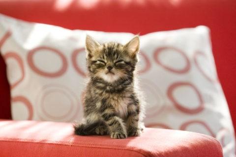 ネコ 仔猫 アメリカンショートヘア ソファ