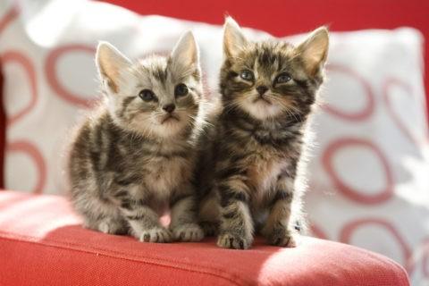 ネコ 仔猫 アメリカンショートヘア ソファ 2匹