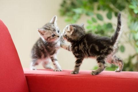 ネコ 仔猫 アメリカンショートヘア 2匹 遊ぶ