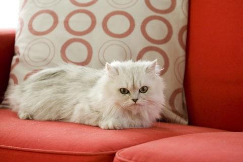 ネコ ペルシャ猫 チンチラ ペット リビング ソファ