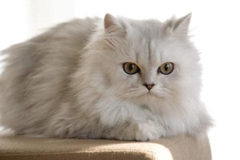 ネコ ペルシャ猫 チンチラ ペット リビング 椅子