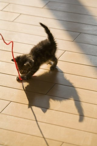 ネコ 仔猫 アメリンカンショートヘア 床 影 毛糸