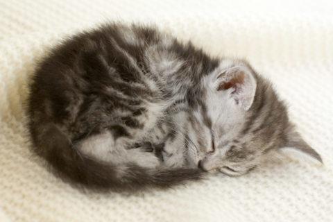 ネコ 仔猫 アメリンカンショートヘア 眠る 毛布