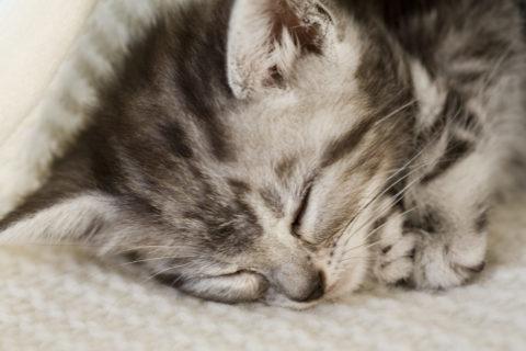 ネコ 仔猫 アメリンカンショートヘア 眠る