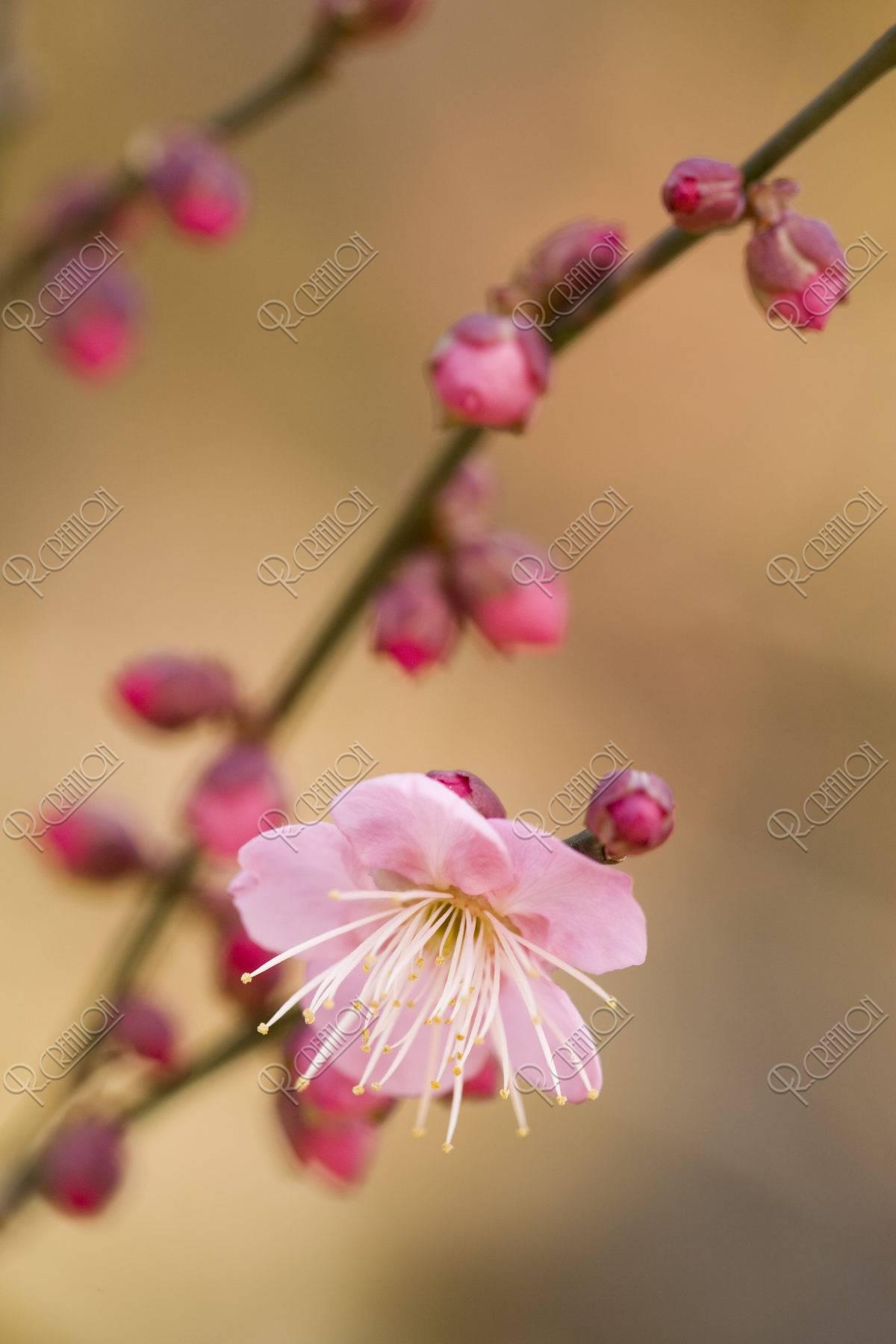 梅 一重 花 植物 アップ 北野天満宮
