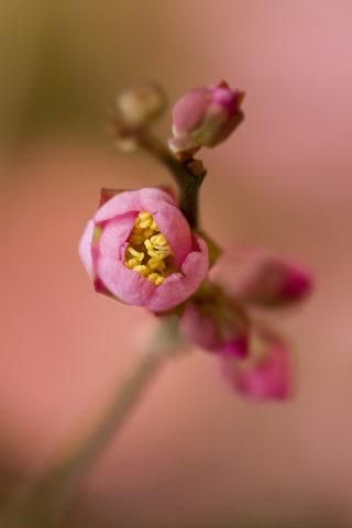 梅 蕾 紅梅 アップ 一重 花 植物 北野天満宮