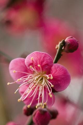 梅 紅梅 アップ 一重 花 植物 北野天満宮