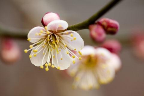 梅 蕾 アップ 一重 花 植物 北野天満宮