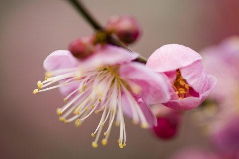 紅梅 梅 開花 アップ 一重 花 植物 北野天満宮