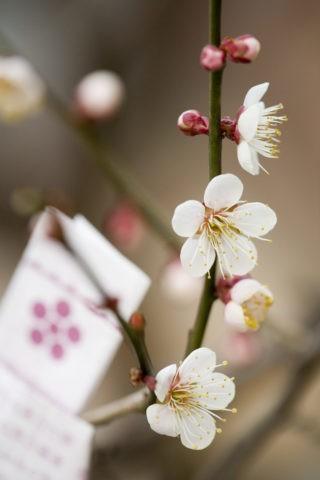 梅 おみくじ アップ 一重 花 植物 北野天満宮