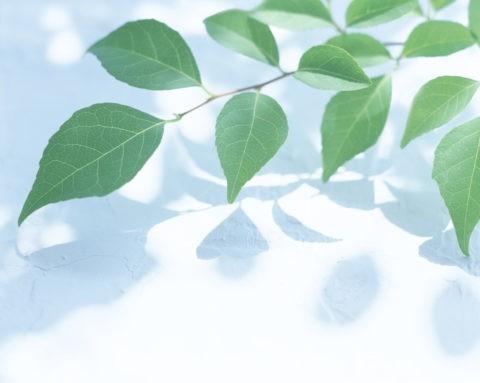 グリーン 葉っぱ アップ 新緑 合成 白バック