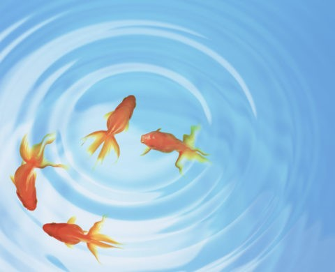 金魚 水面 波紋 俯瞰 合成 青色 夏イメージ
