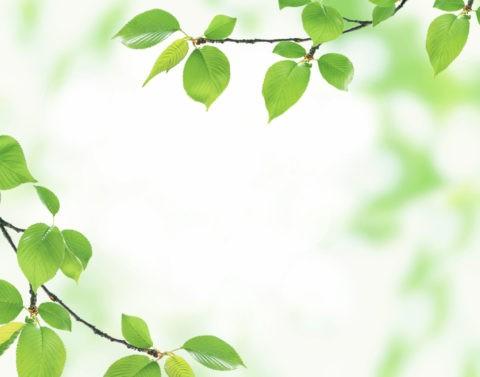 グリーン 桜の葉 新緑 合成 アップ