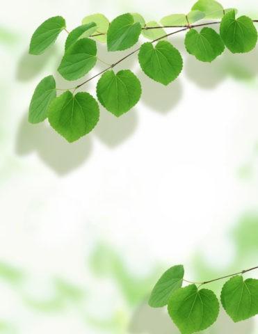 グリーン 葉っぱ カツラ 新緑 合成 アップ