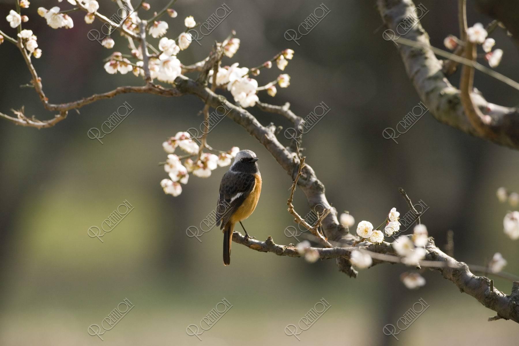ジョウビタキ 野鳥 鳥 梅 白梅 春