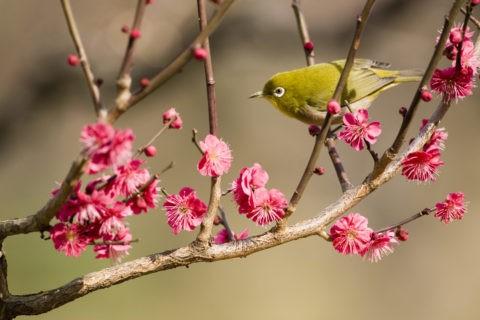 メジロ 野鳥 鳥 梅 紅梅 春
